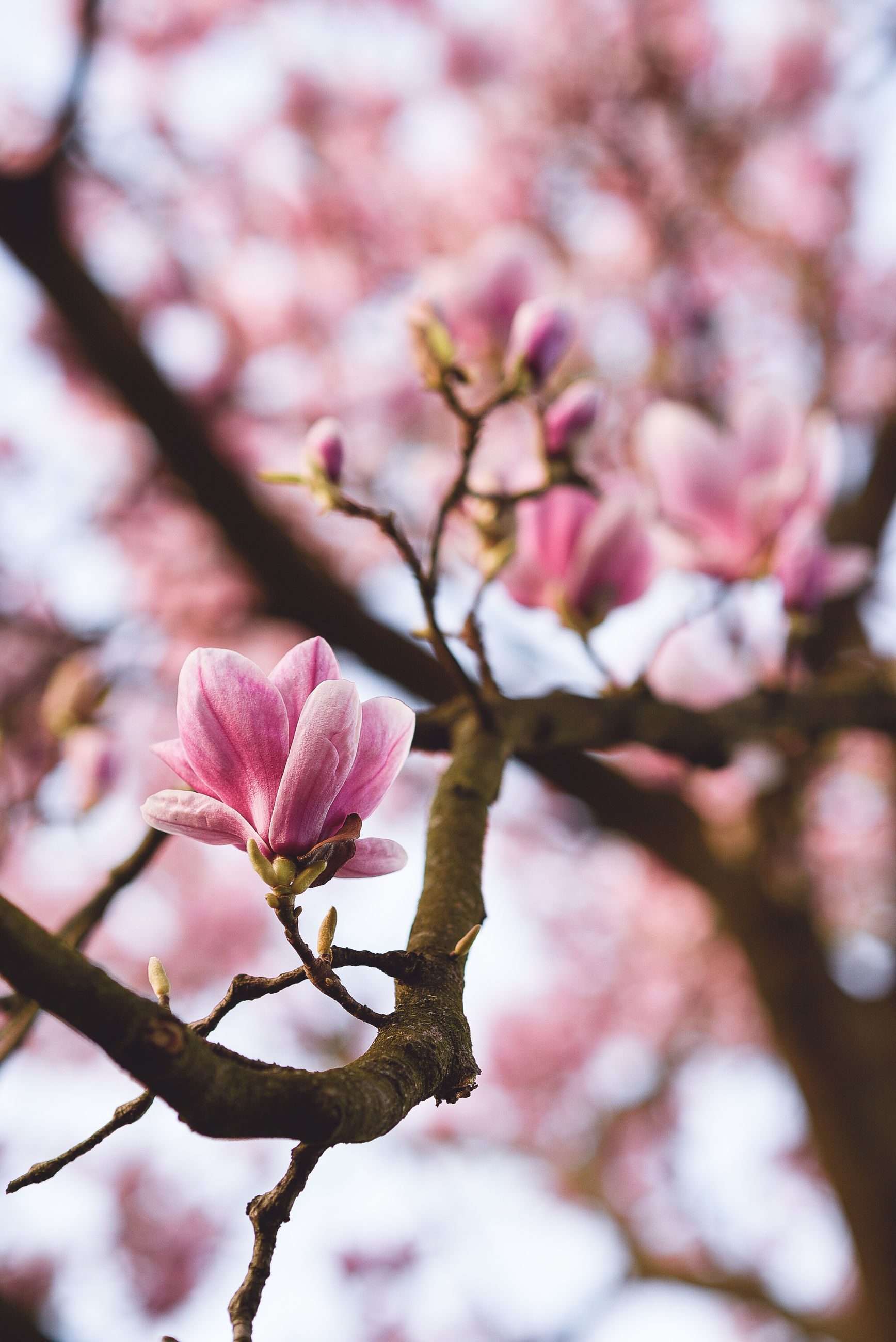 CLOSE-UP OF FRESH PINK CHERRY BLOSSOM ON BRANCH