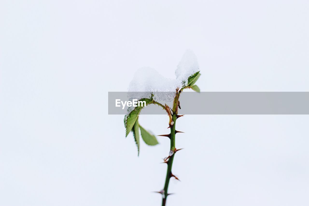 Close-up of snow on plant against white background