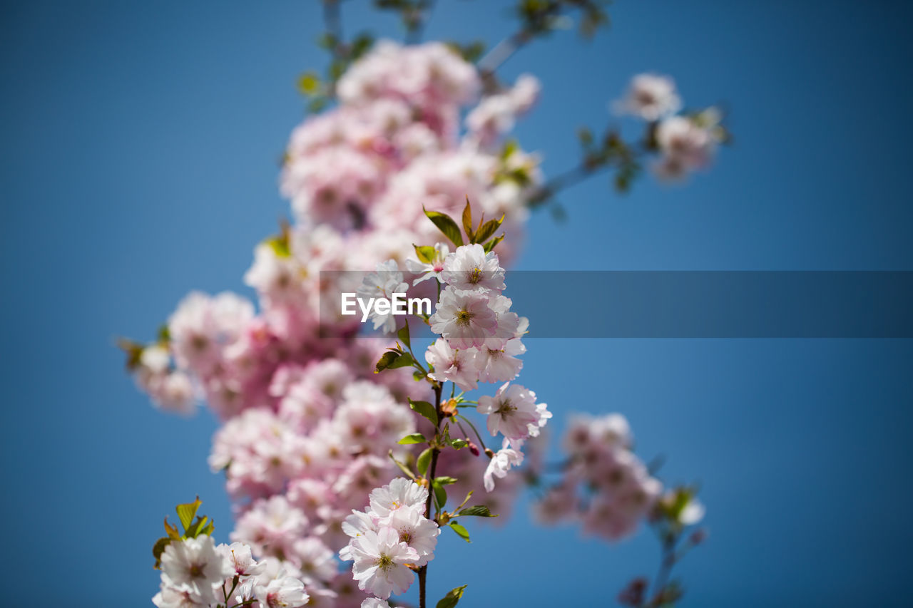 flowering plant, flower, fragility, plant, freshness, vulnerability, beauty in nature, growth, nature, blossom, close-up, petal, sky, springtime, day, no people, tree, selective focus, clear sky, flower head, pink color, cherry blossom, outdoors, cherry tree, bunch of flowers, lilac