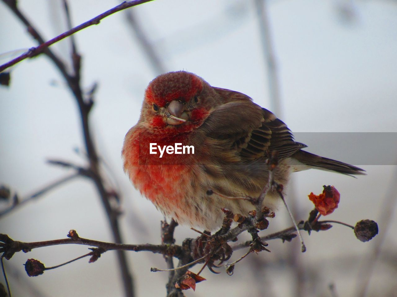 bird, animal themes, vertebrate, perching, one animal, animal, branch, red, plant, tree, focus on foreground, animals in the wild, day, animal wildlife, twig, cardinal - bird, close-up, no people, nature, outdoors