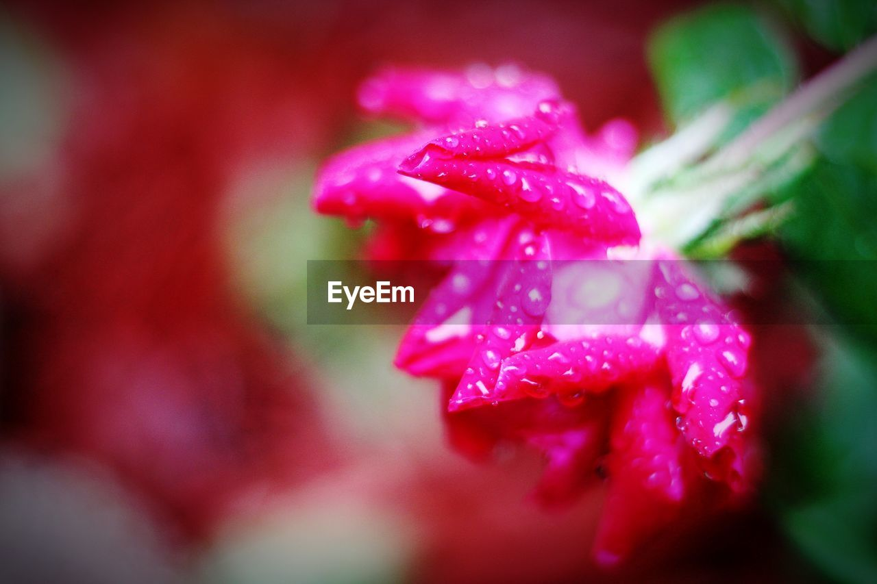 beauty in nature, close-up, plant, flowering plant, vulnerability, fragility, growth, flower, selective focus, petal, pink color, wet, freshness, drop, water, no people, inflorescence, flower head, nature, outdoors, dew