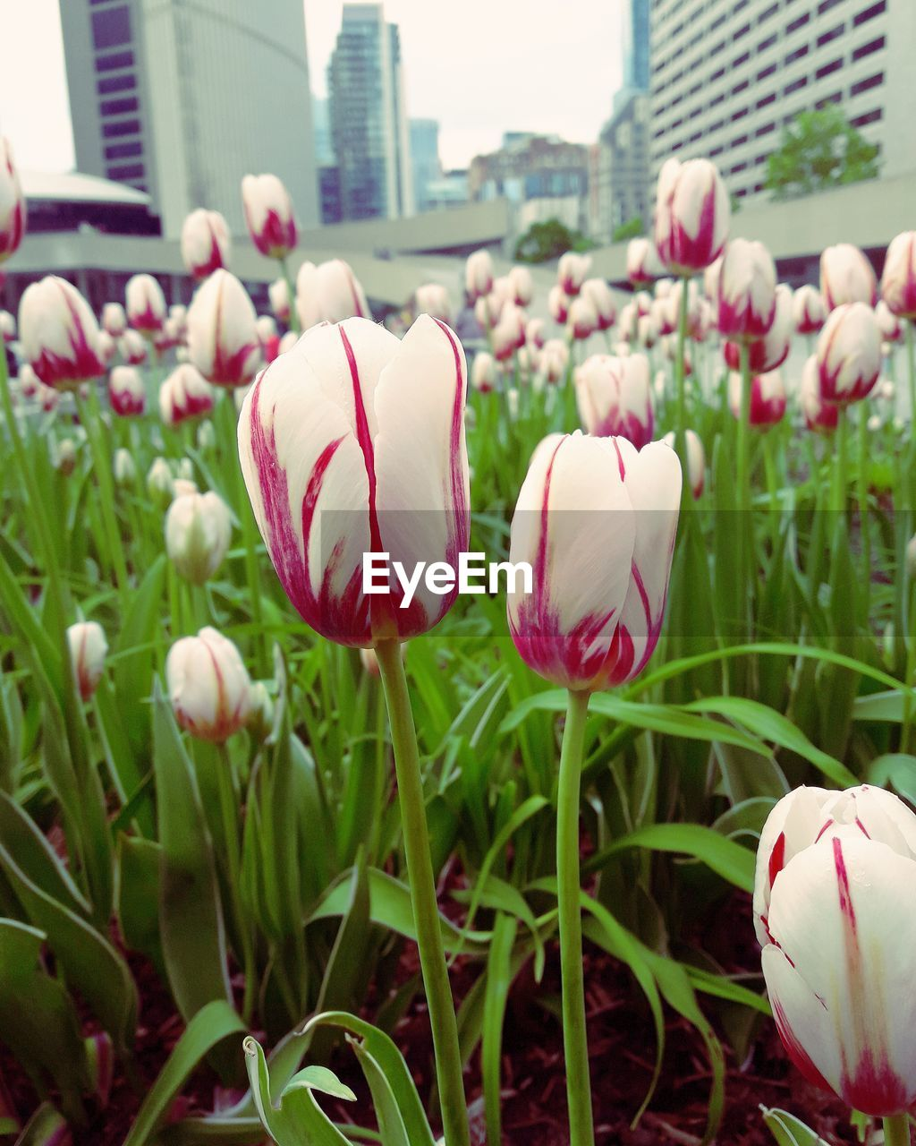 flower, petal, growth, nature, fragility, flower head, freshness, blooming, beauty in nature, tulip, plant, close-up, pink color, outdoors, no people, day, grass, crocus