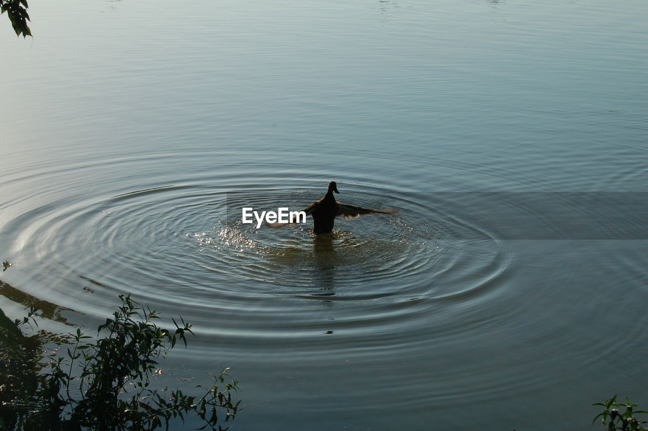 lake, water, rippled, animal themes, vertebrate, animal, animals in the wild, waterfront, bird, one animal, nature, day, animal wildlife, high angle view, tranquility, no people, swimming, beauty in nature, tranquil scene, outdoors