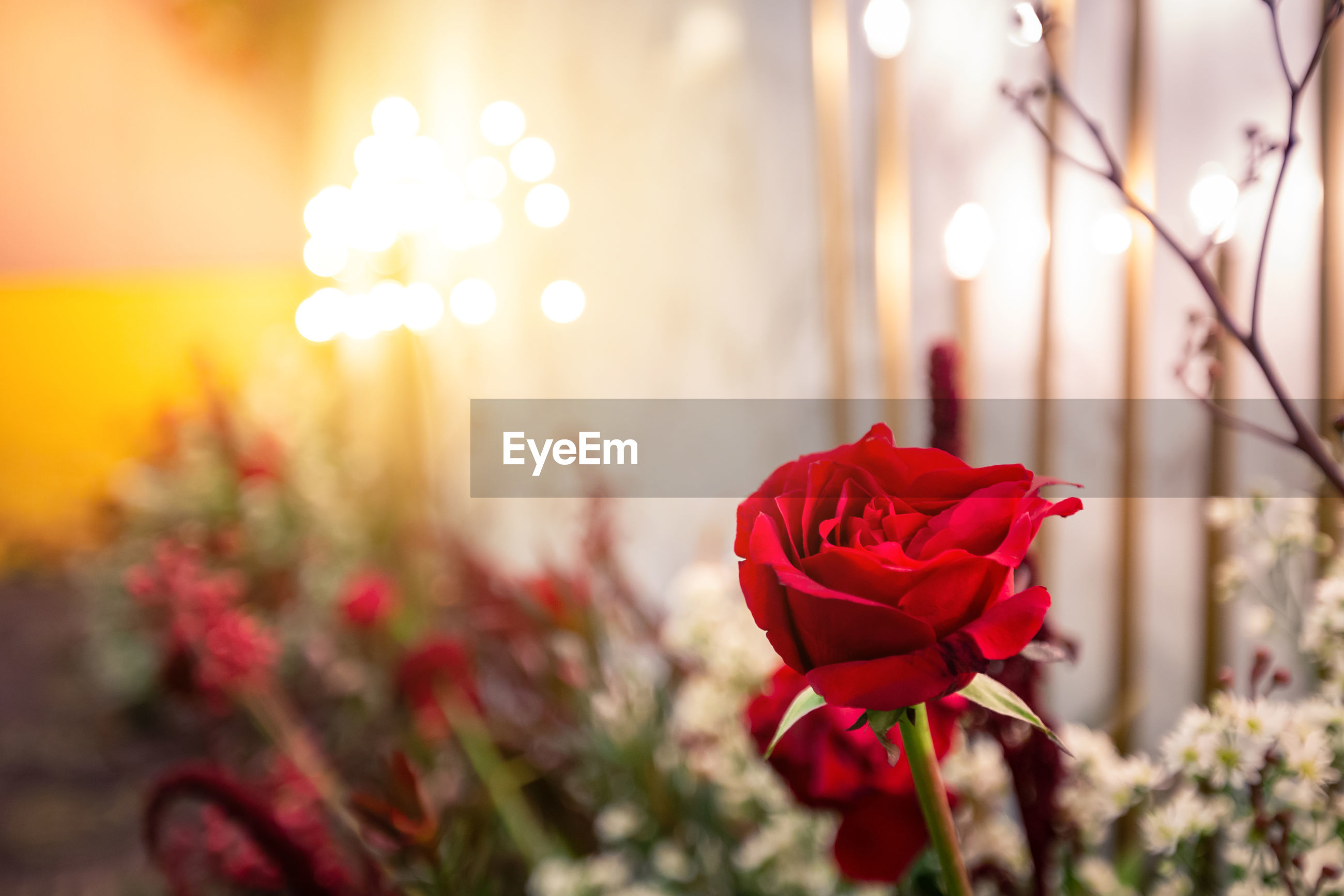 Red rose blooming and background decorated with warm lights.