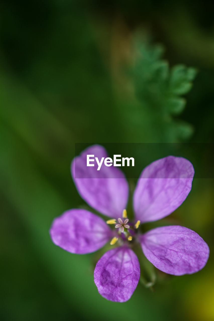 flower, flowering plant, fragility, beauty in nature, vulnerability, petal, close-up, plant, growth, freshness, flower head, purple, inflorescence, no people, nature, plant part, selective focus, outdoors, leaf, focus on foreground, pollen, pollination