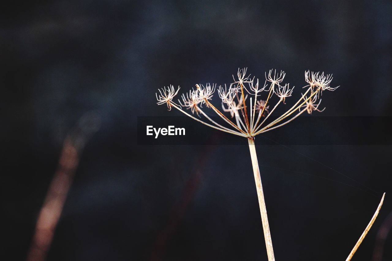 Close-Up Of Dried Cow Parsnip Flowers