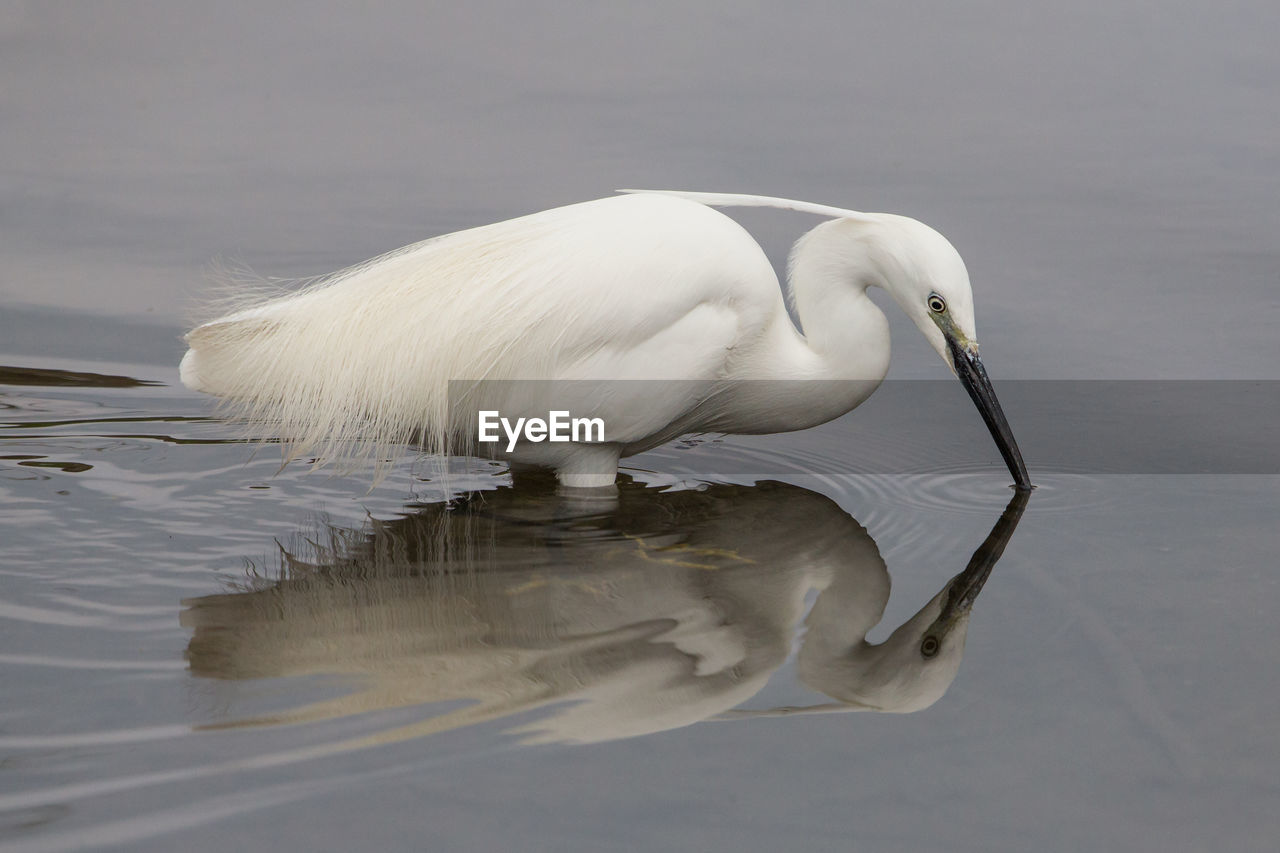 High Angle View Of Little Egret With Reflection In Lake