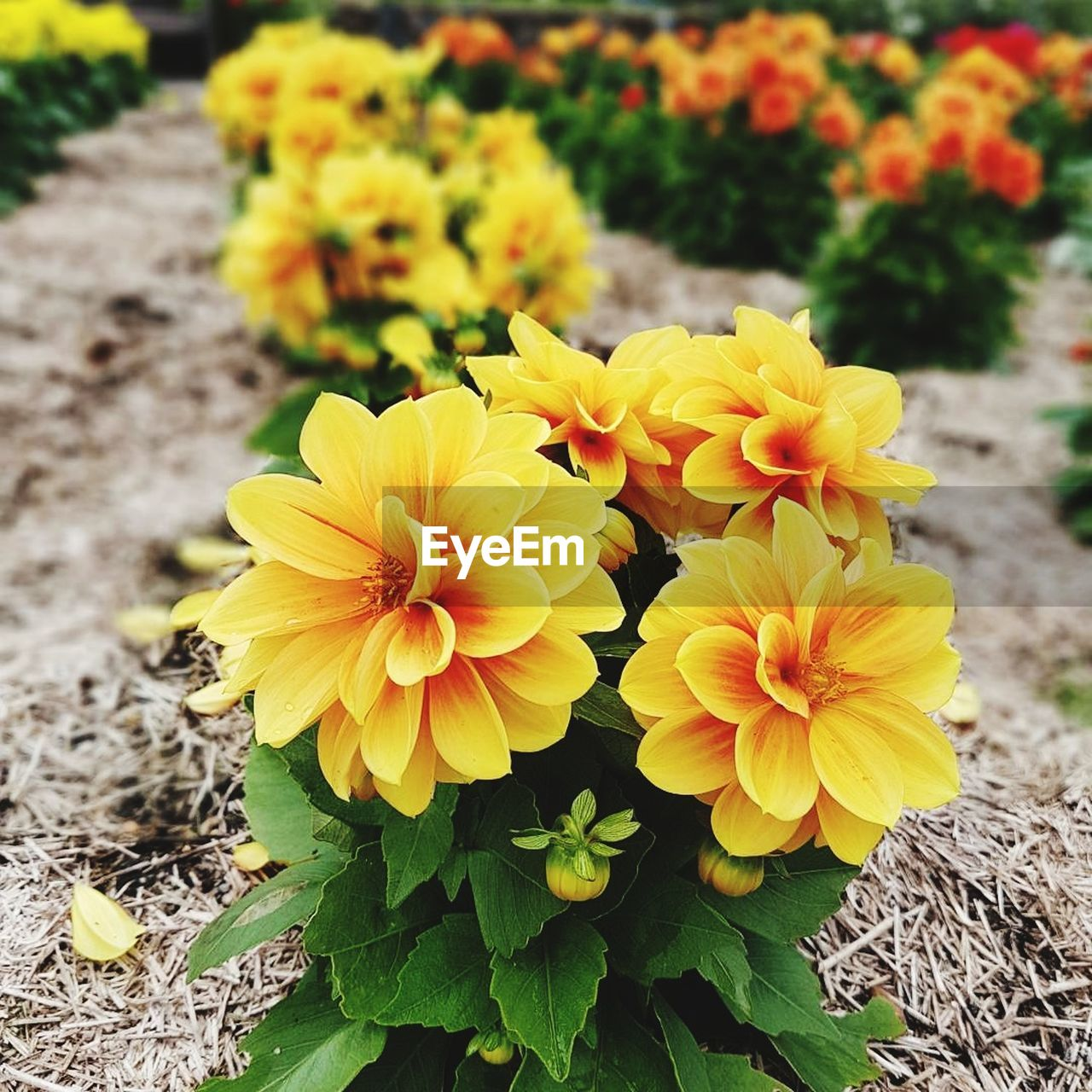 flower, petal, flower head, yellow, fragility, freshness, growth, plant, beauty in nature, nature, outdoors, day, blooming, no people, high angle view, close-up, field, leaf