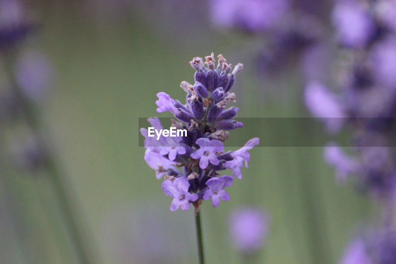 Close-Up Of Lavender Flower Growing Outdoors