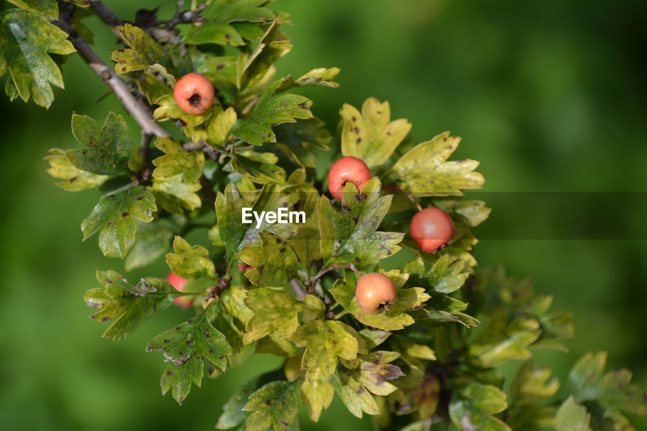 Close-up of berries growing on tree branches