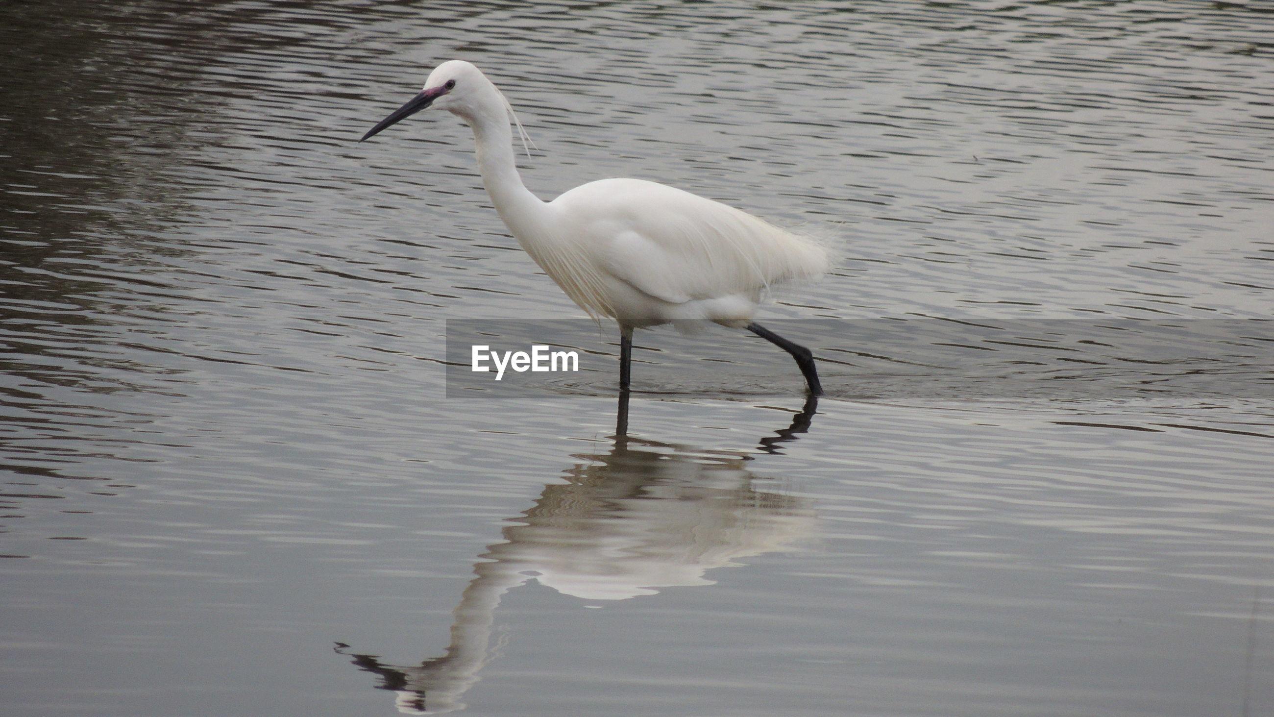 Bird wading in lake