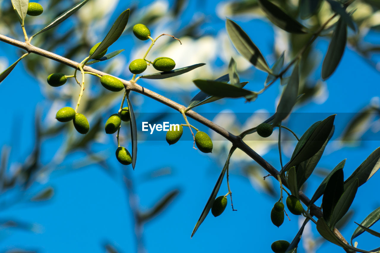 plant, growth, olive, tree, blue, healthy eating, fruit, no people, close-up, food, low angle view, food and drink, nature, green color, olive tree, day, focus on foreground, freshness, leaf, green olive