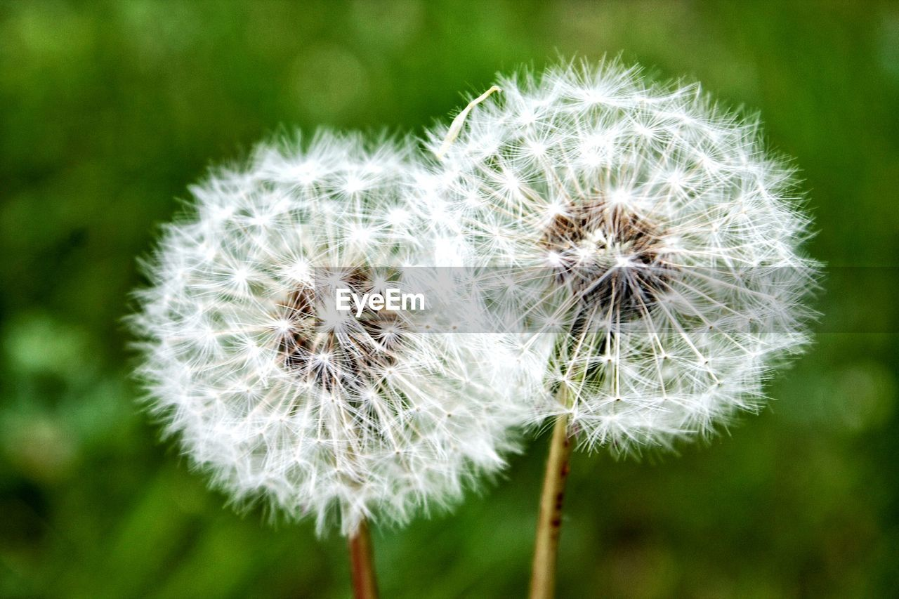 nature, dandelion, flower, focus on foreground, growth, fragility, close-up, plant, beauty in nature, flower head, day, no people, outdoors, freshness