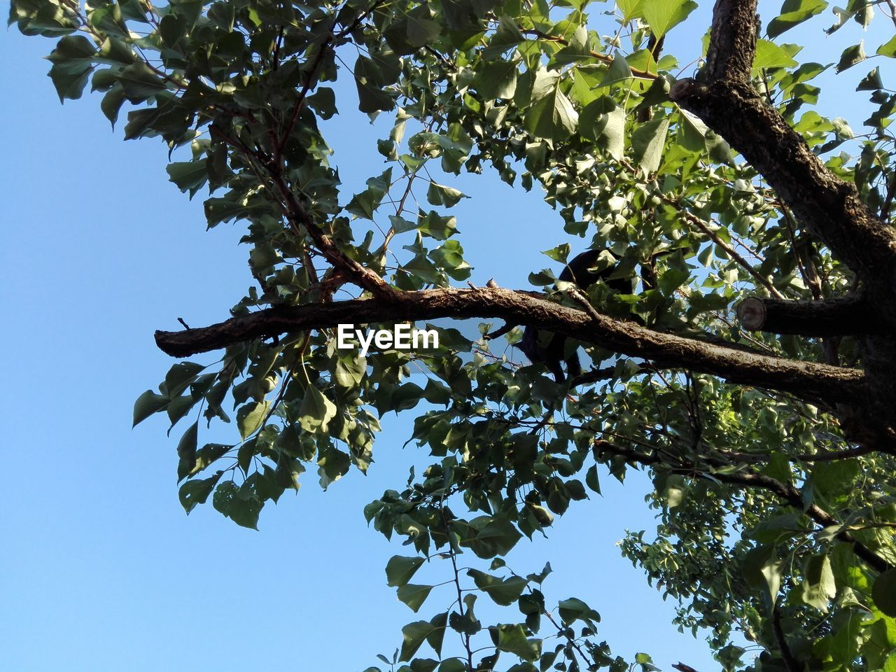tree, low angle view, nature, day, clear sky, growth, leaf, branch, beauty in nature, no people, blue sky, outdoors, sky