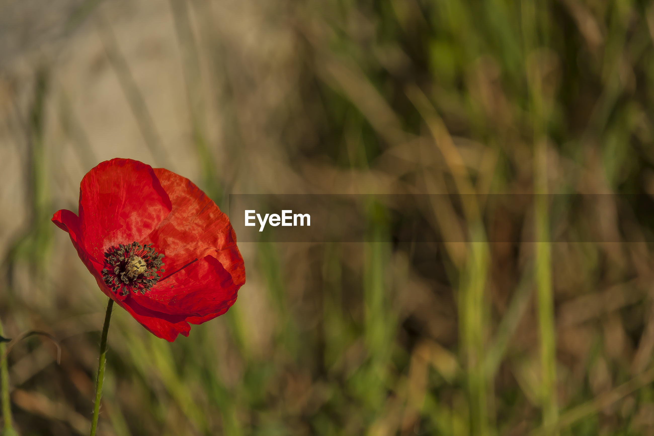 CLOSE-UP OF RED POPPY FLOWER ON LAND