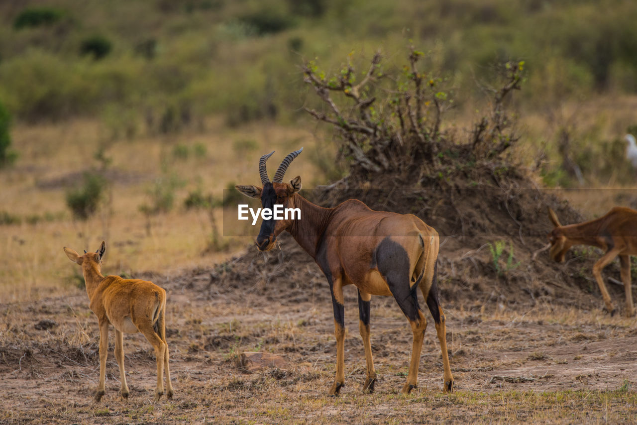 animal wildlife, animal themes, animals in the wild, animal, group of animals, mammal, two animals, land, field, no people, domestic animals, vertebrate, nature, day, herbivorous, focus on foreground, standing, young animal, safari, plant