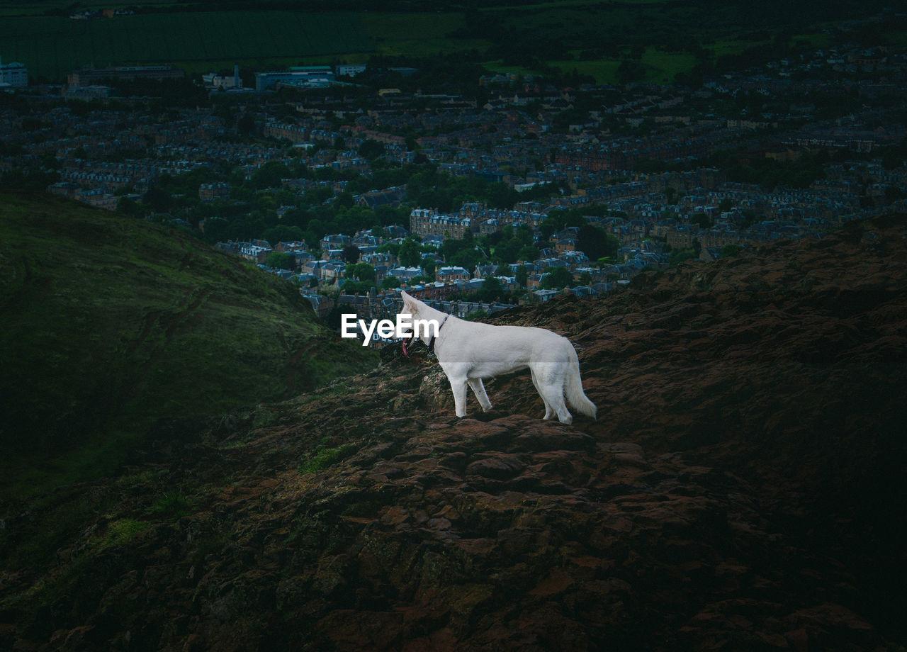 Dog standing in a field, arthur's seat,  edinburgh
