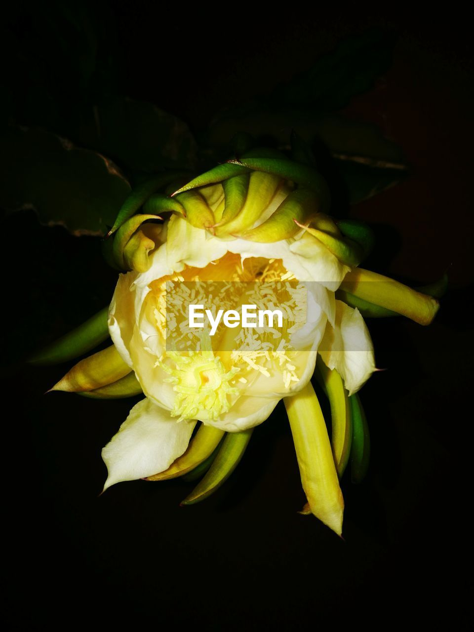 flower, flowering plant, fragility, vulnerability, beauty in nature, freshness, plant, inflorescence, flower head, petal, close-up, black background, yellow, growth, studio shot, nature, no people, night, indoors, pollen, flower arrangement, bouquet