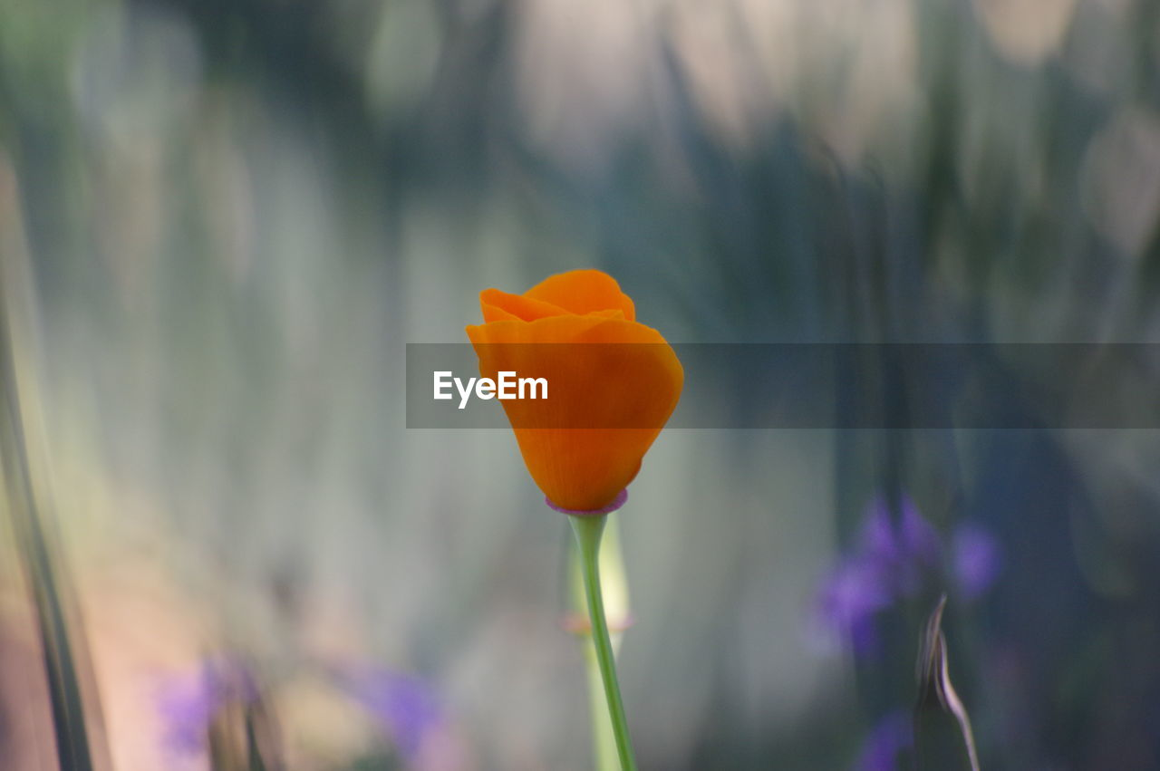 flower, growth, nature, freshness, petal, fragility, beauty in nature, plant, focus on foreground, blooming, no people, close-up, outdoors, field, flower head, day, poppy, crocus
