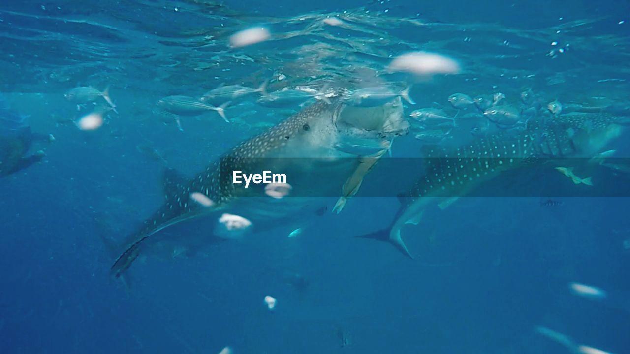 Whale Shark Feeding Under Blue Sea