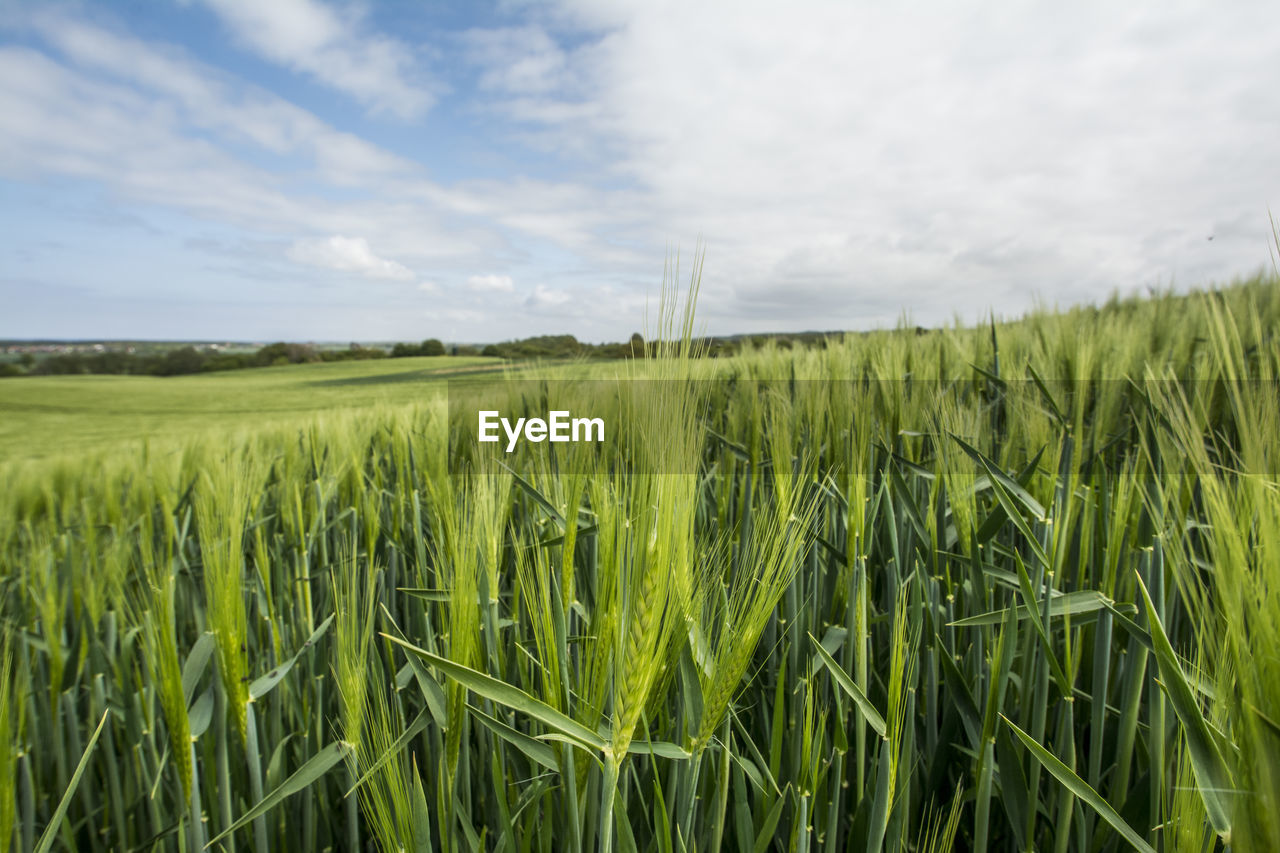 VIEW OF WHEAT FIELD AGAINST SKY