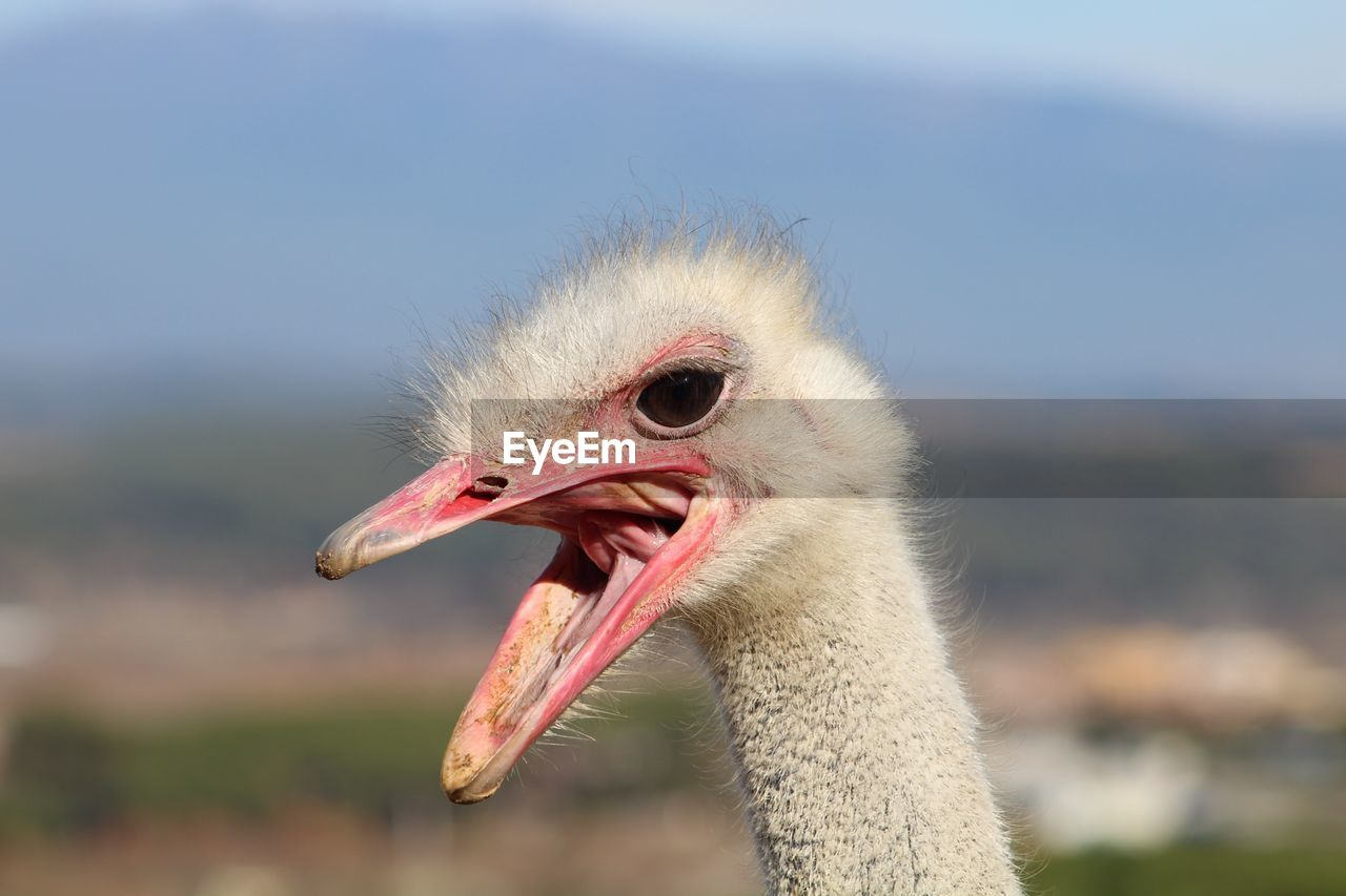 focus on foreground, one animal, bird, animal themes, animals in the wild, beak, close-up, day, no people, ostrich, nature, outdoors, crane - bird