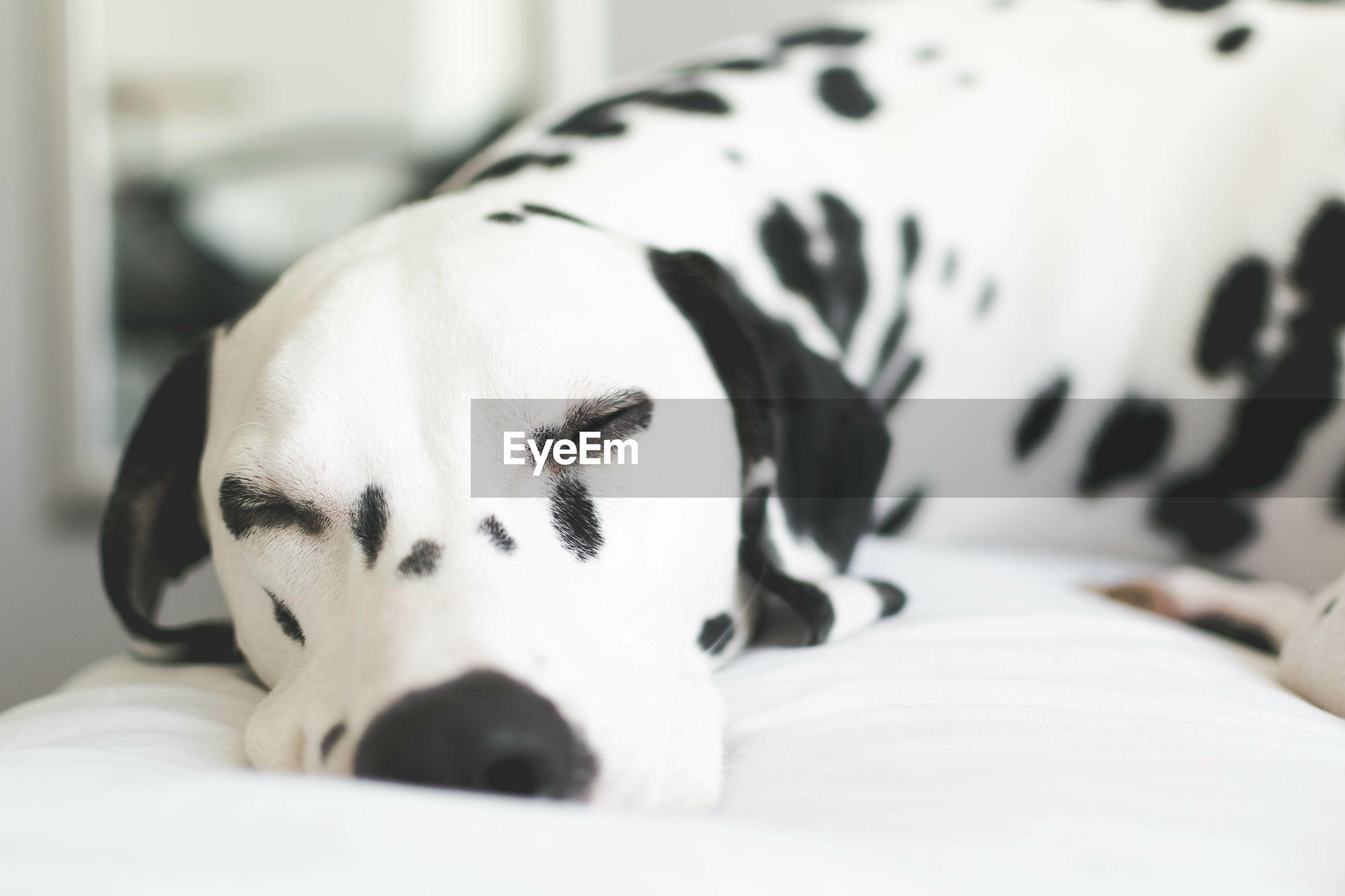 Close-up of dalmatian dog sleeping on bed