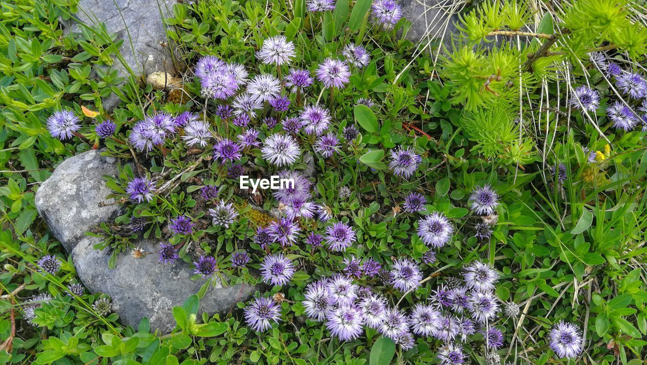 flower, flowering plant, plant, growth, freshness, fragility, beauty in nature, vulnerability, purple, nature, day, no people, high angle view, field, land, close-up, petal, outdoors, flower head, inflorescence, flowerbed