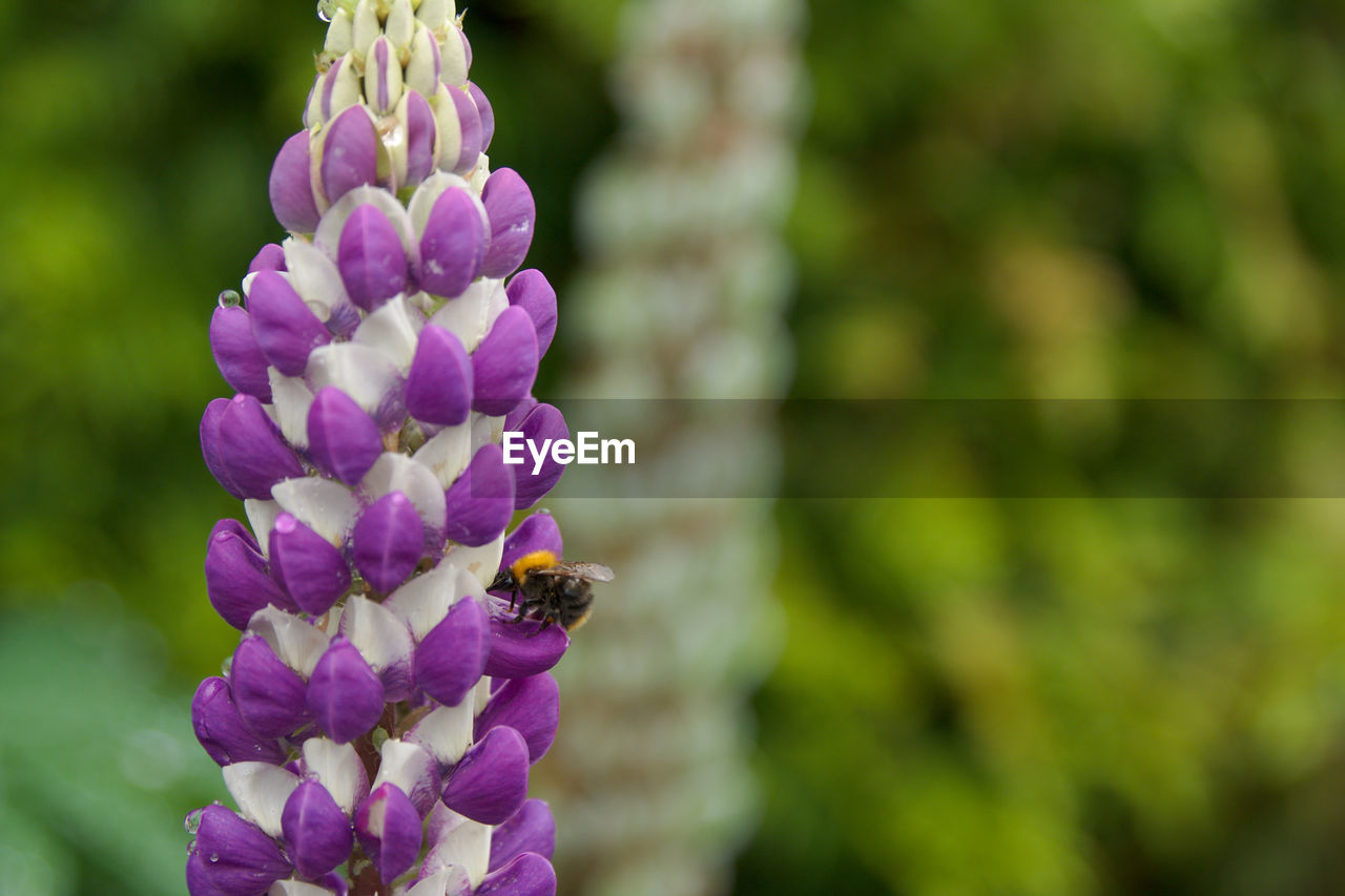 flower, purple, nature, beauty in nature, insect, petal, fragility, growth, bee, animals in the wild, one animal, freshness, day, animal themes, outdoors, focus on foreground, plant, no people, animal wildlife, flower head, pollination, close-up, buzzing