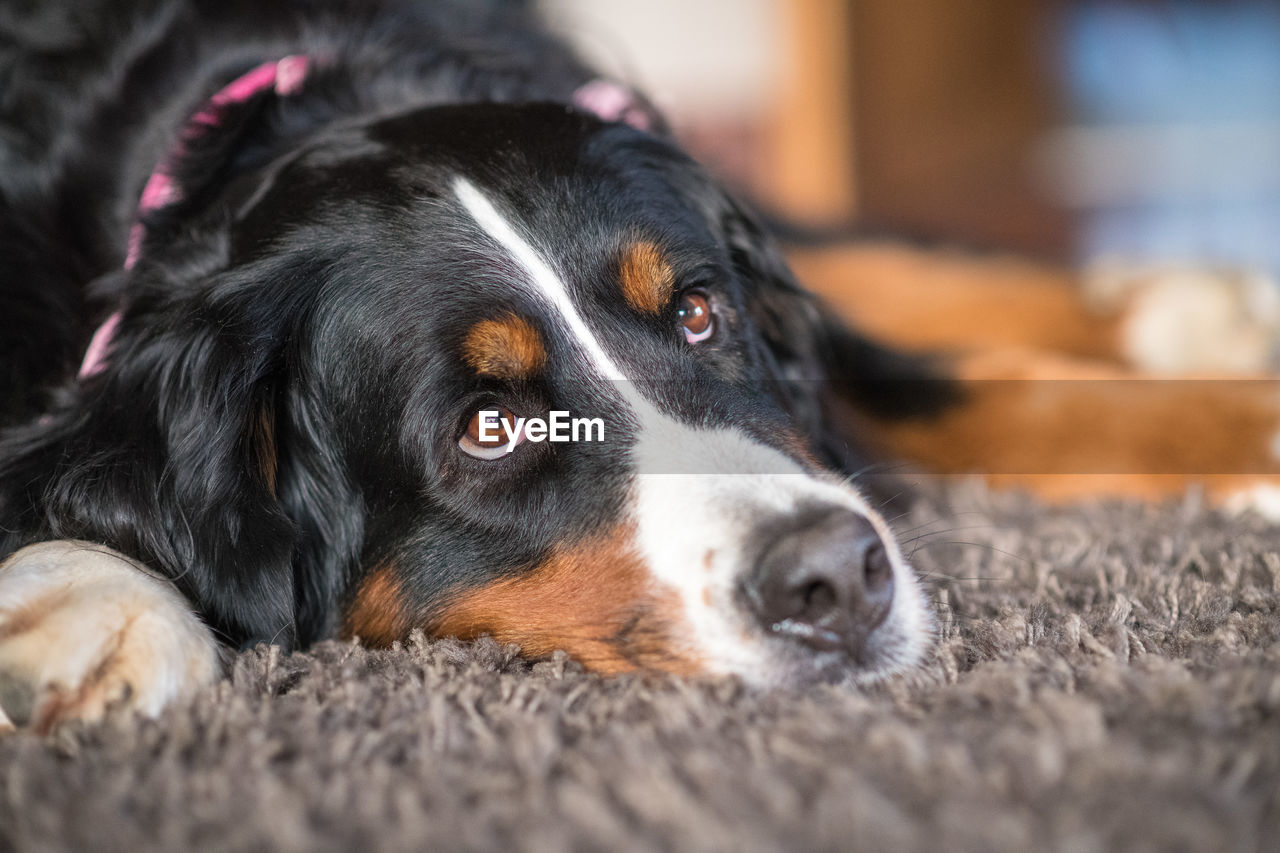 dog, canine, pets, domestic animals, domestic, one animal, mammal, animal themes, animal, portrait, selective focus, close-up, looking at camera, relaxation, lying down, indoors, black color, vertebrate, no people, animal body part, animal head, animal eye