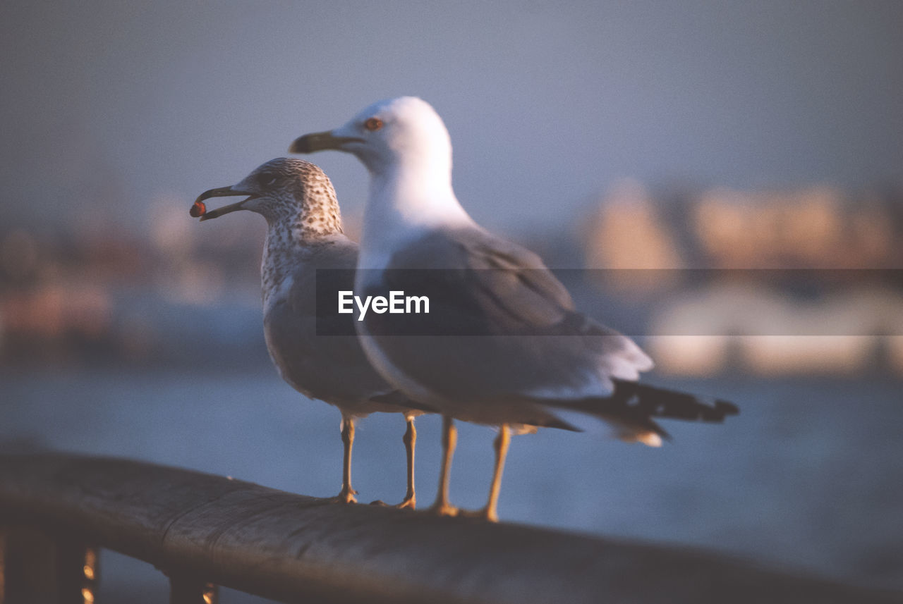 bird, vertebrate, animal themes, animal, animals in the wild, seagull, animal wildlife, group of animals, focus on foreground, water, sea, nature, sea bird, perching, no people, day, two animals, close-up, outdoors