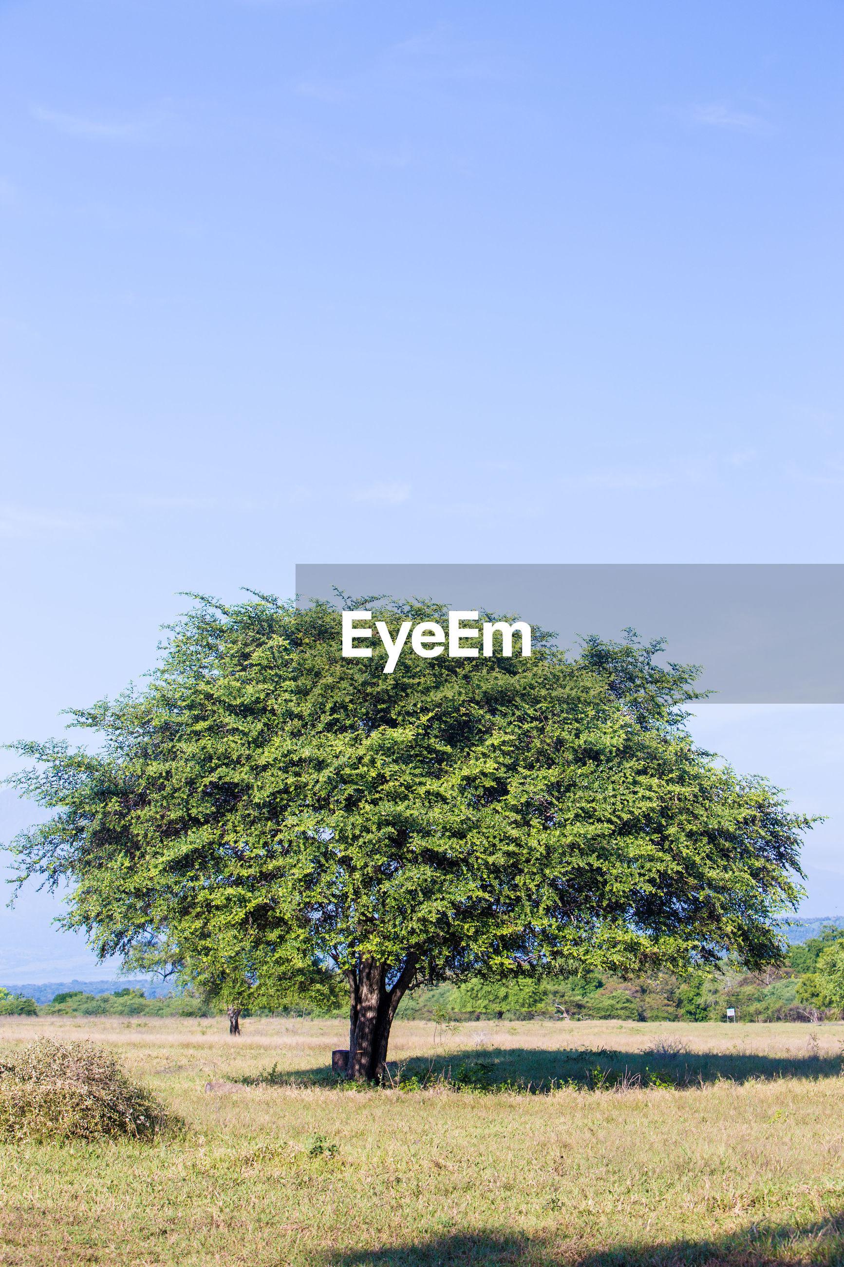 TREE IN FIELD AGAINST SKY