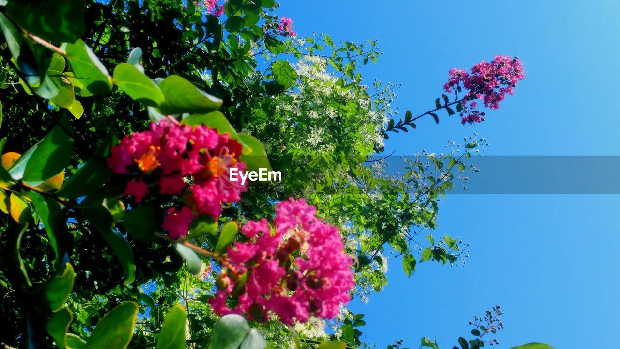 flower, growth, nature, beauty in nature, low angle view, freshness, fragility, tree, plant, no people, day, outdoors, pink color, leaf, blooming, lilac, clear sky, flower head, sky, close-up