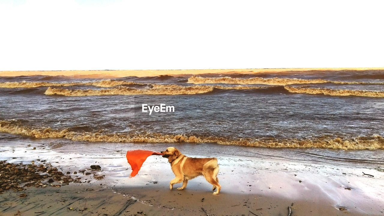 Side View Of Golden Retriever With Red Flag At Beach