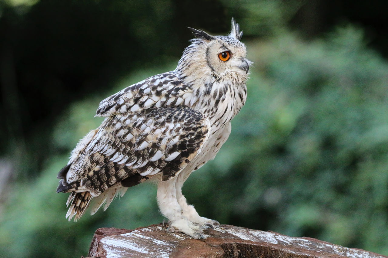Eagle Owl Perching On Wood