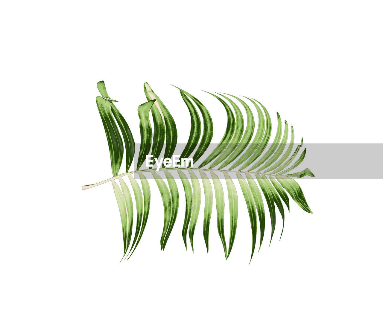 green color, studio shot, white background, leaf, plant part, close-up, indoors, plant, freshness, no people, nature, growth, cut out, food and drink, copy space, still life, wellbeing, food, rosemary, vegetable, leaves, palm leaf