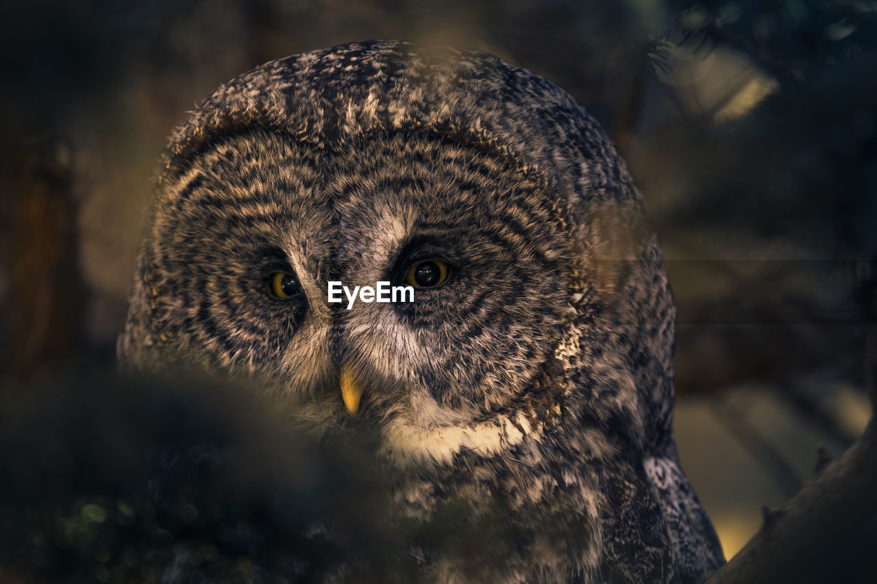 animal themes, one animal, animals in the wild, animal wildlife, animal, vertebrate, bird of prey, bird, close-up, focus on foreground, owl, no people, portrait, looking at camera, nature, day, outdoors, selective focus, looking, animal body part, animal head, animal eye, yellow eyes, whisker