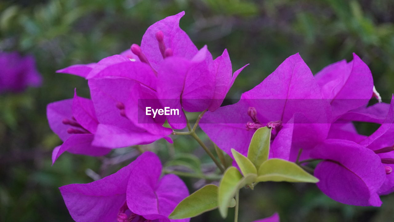 flowering plant, flower, petal, vulnerability, fragility, beauty in nature, plant, close-up, growth, freshness, flower head, inflorescence, pink color, focus on foreground, no people, day, nature, bougainvillea, plant part, leaf, outdoors, purple
