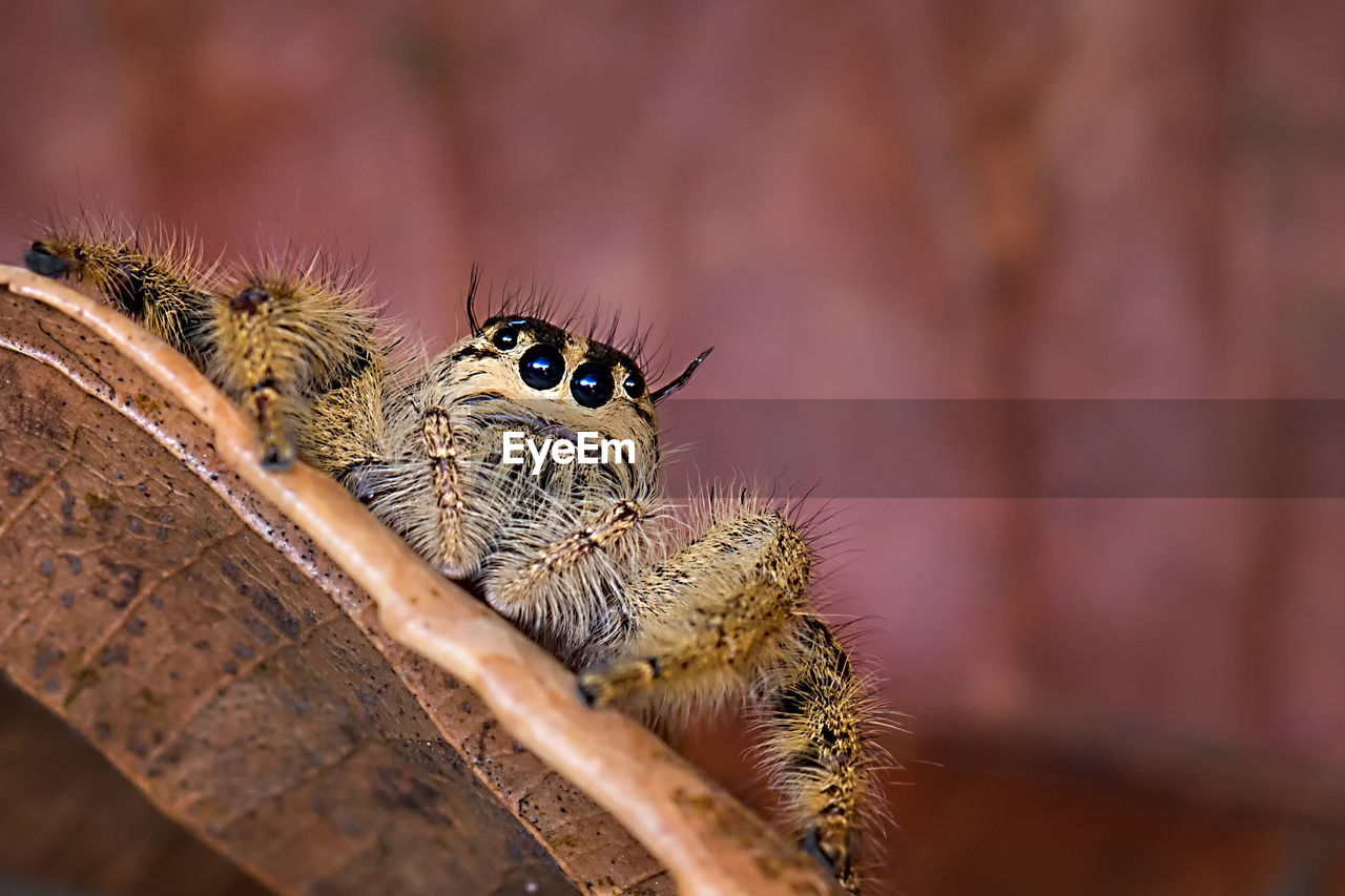 Close-Up Of Jumping Spider On Leaf