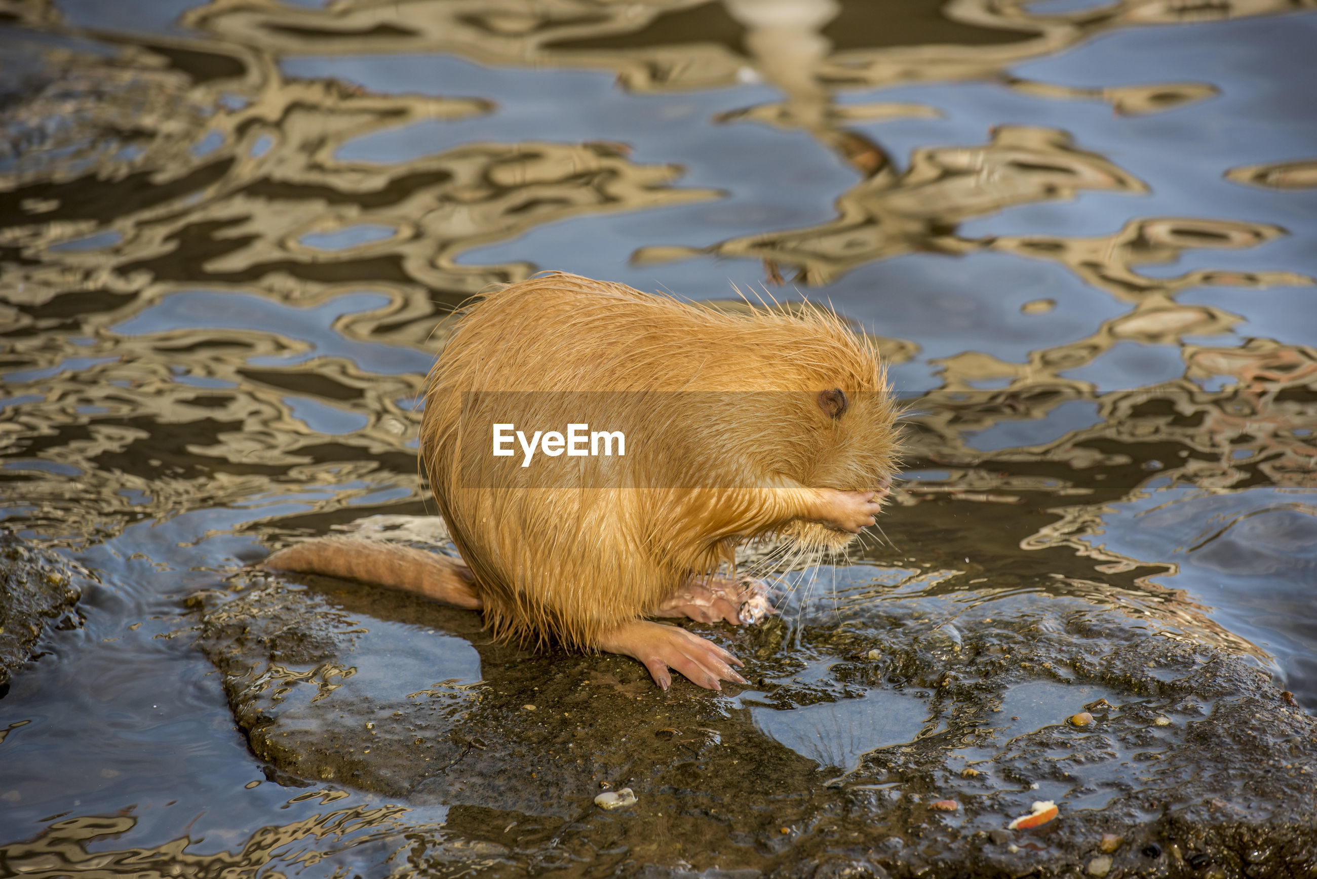 Rat grooming in a shallow river