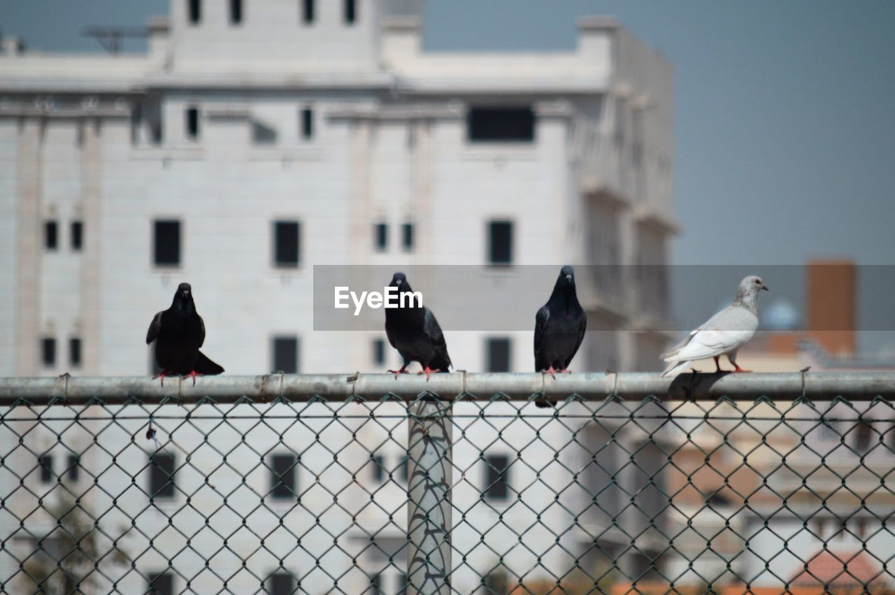 bird, animal themes, group of animals, vertebrate, animal, architecture, animal wildlife, perching, animals in the wild, built structure, building exterior, fence, day, no people, boundary, barrier, focus on foreground, nature, metal, safety, outdoors