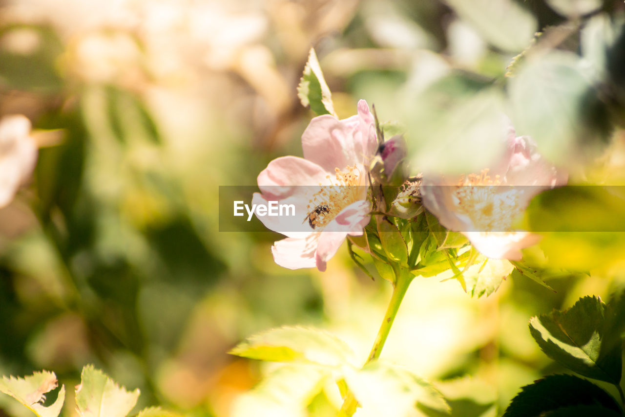 flower, flowering plant, plant, beauty in nature, fragility, vulnerability, growth, freshness, close-up, petal, selective focus, flower head, nature, no people, day, inflorescence, focus on foreground, invertebrate, insect, animal, pollen, pollination
