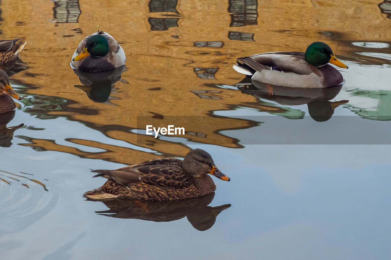 bird, group of animals, animals in the wild, animal wildlife, animal themes, animal, vertebrate, water, duck, swimming, nature, no people, day, lake, high angle view, poultry, mallard duck, waterfront, medium group of animals, flock of birds, animal family