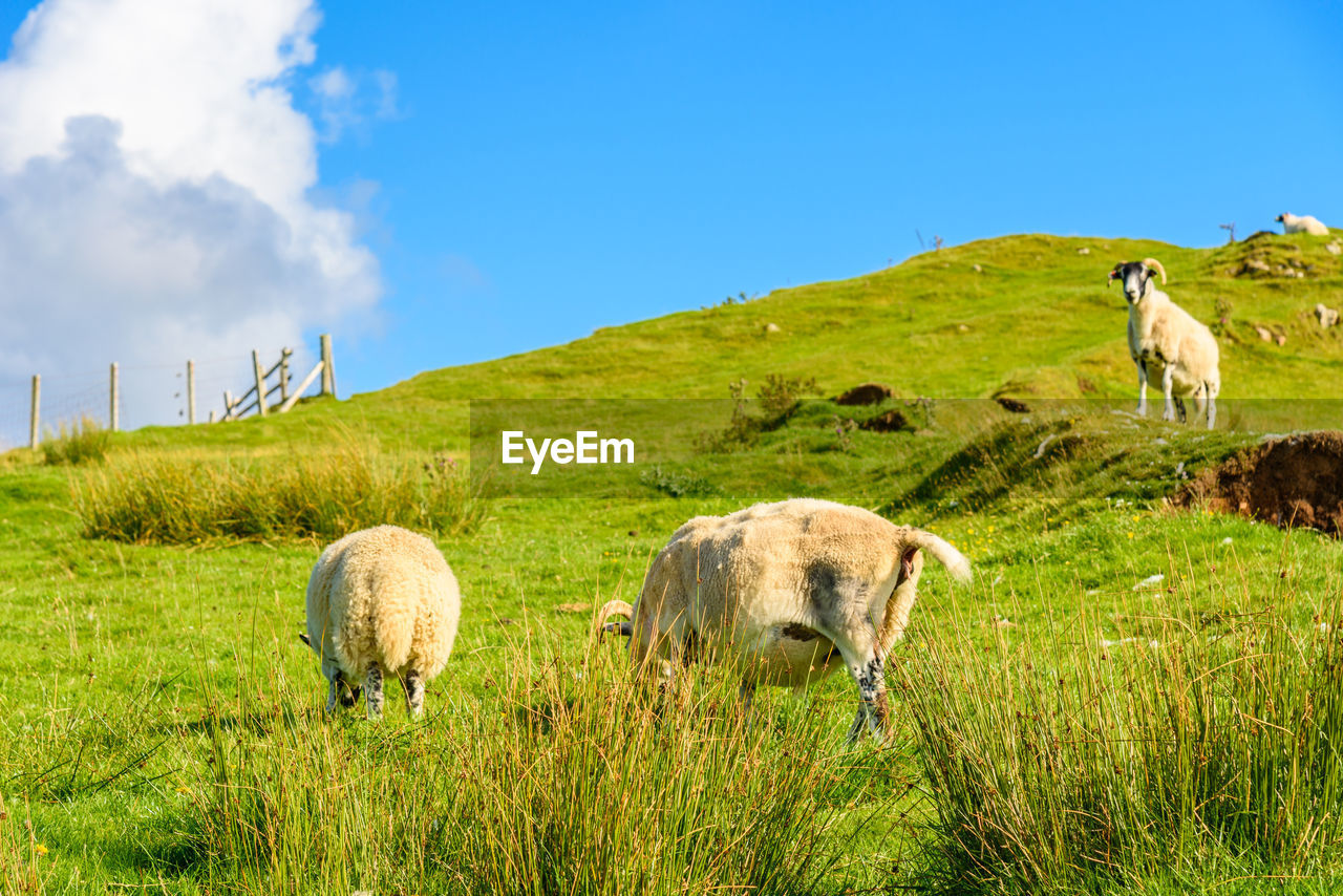 Sheep grazing on field against blue sky
