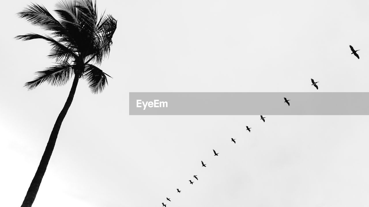 sky, low angle view, animal themes, vertebrate, animals in the wild, animal wildlife, animal, group of animals, bird, tree, nature, large group of animals, no people, silhouette, palm tree, flying, copy space, clear sky, beauty in nature, plant, flock of birds