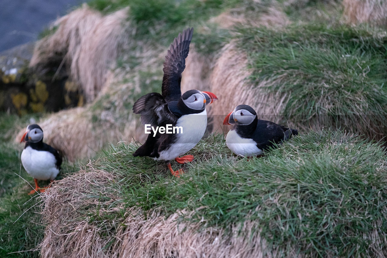 High angle view of puffins on grassy shore