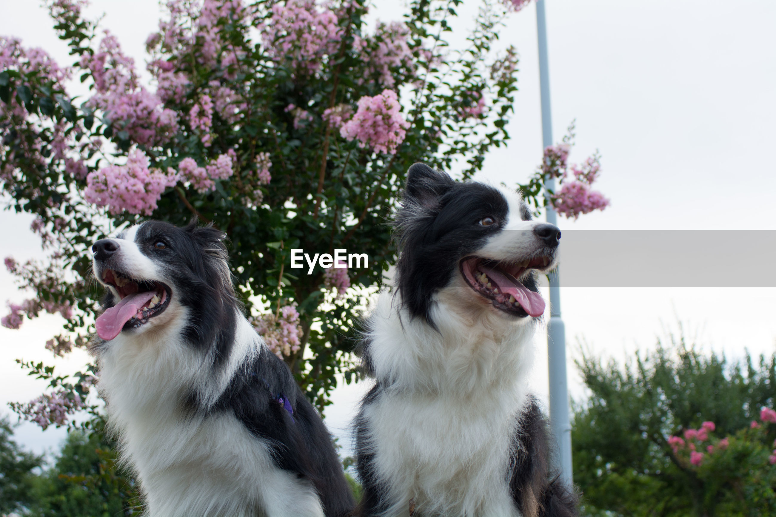 Close-up of border collies
