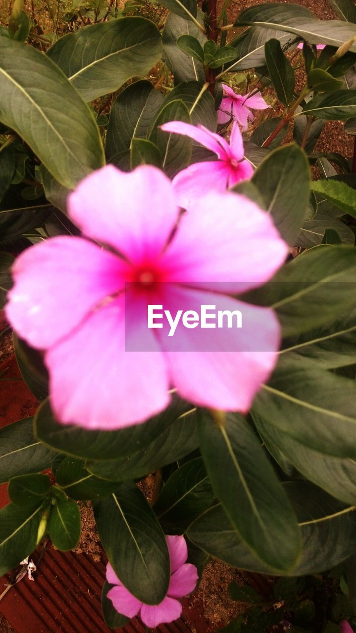 flower, petal, growth, flower head, fragility, beauty in nature, periwinkle, plant, nature, blooming, pink color, freshness, day, leaf, no people, outdoors, close-up, petunia