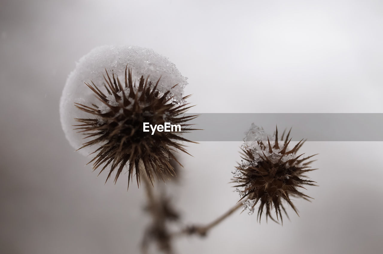 fragility, flower, nature, no people, close-up, seed, focus on foreground, plant, thistle, freshness, beauty in nature, flower head, day, winter, outdoors, sky