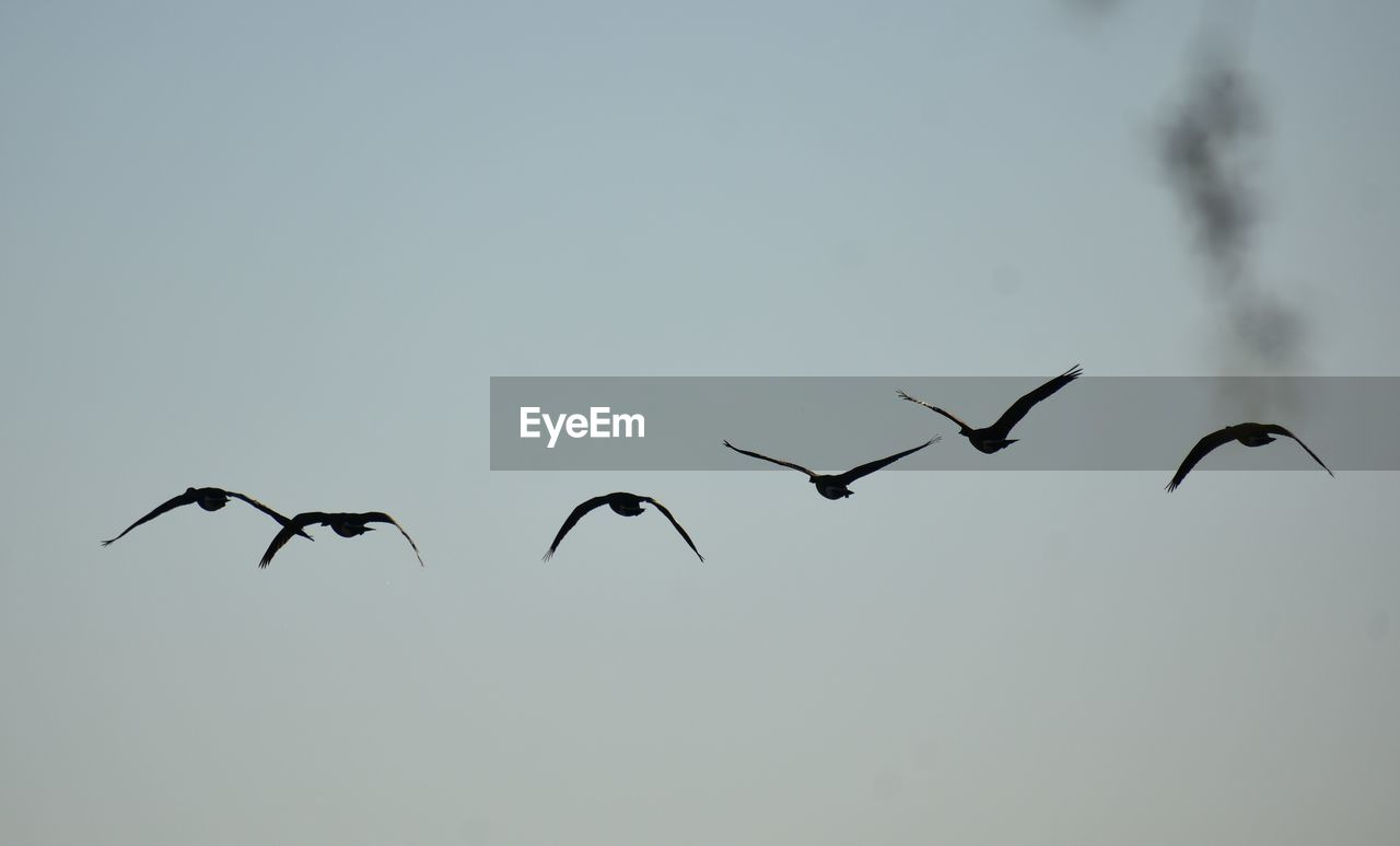 flying, animals in the wild, animal themes, bird, animal wildlife, mid-air, nature, spread wings, copy space, migrating, clear sky, no people, flock of birds, outdoors, low angle view, day, large group of animals, togetherness, beauty in nature, sky